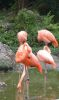 Flamingos at the Miami Zoo